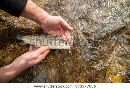 Catch and release fishing of a brown trout (Salmo trutta fario) held in fisherman's hands before releasing it in a clean stream. - stock photo