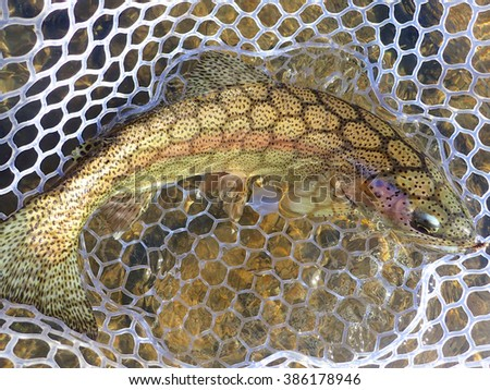 Catch and release rainbow trout - stock photo