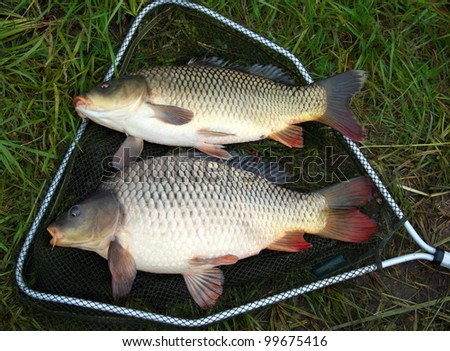 catch carp in green grass background - stock photo