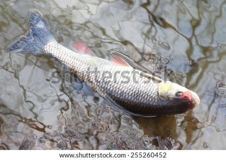 Catch of fish. European Chub (Squalius cephalus). - stock photo