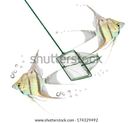 Catching of tropical fish. Freshwater Angelfish (Pterophyllum scalare). - stock photo