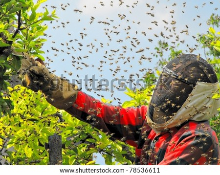 catching the bee swarm/ beekeeping - stock photo