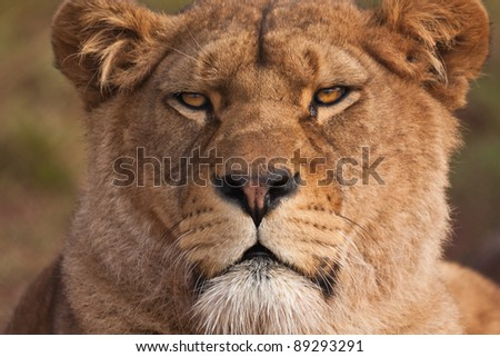 Catching the stare of a hungry Lioness