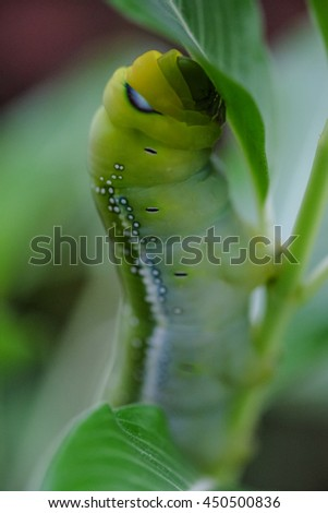 Caterpillar , Big green worm eating Catharanthus roseus (Madagascar periwinkle). close up - stock photo