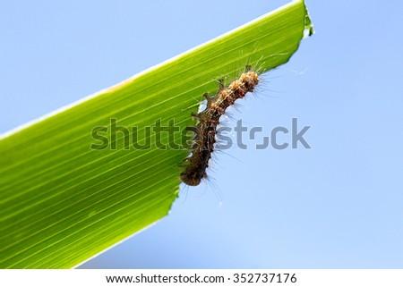 caterpillar eating green leaf - stock photo