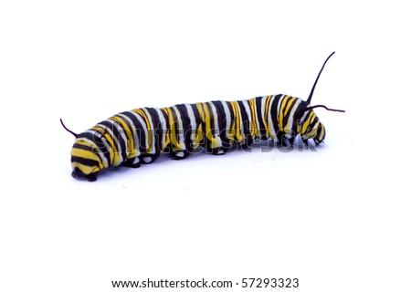 Caterpillar isolated on white background - stock photo