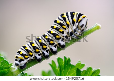 Caterpillar of a black swallowtail butterfly munching on parsley. Larva of the (eastern) black swallowtail (Papilio polyxenes), also called the American swallowtail or parsnip swallowtail. - stock photo