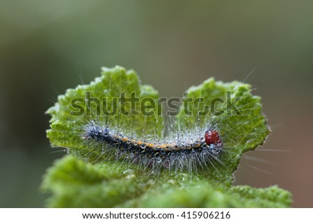 caterpillar of butterfly and dew on green leaf - stock photo