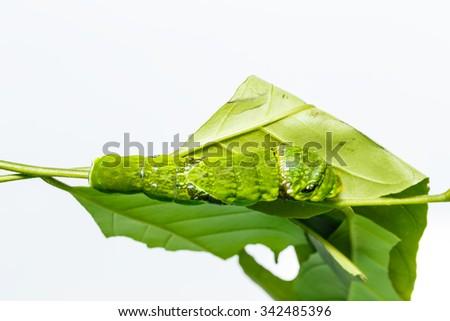 Caterpillar of Common mormon butterfly on leaf og host plant - stock photo