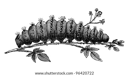 "Caterpillar of emperor moth, vintage illustration. Sourced from antique book ""The Playtime Naturalist"" by Dr. J.E. Taylor, published in London UK, 1889. - stock photo"