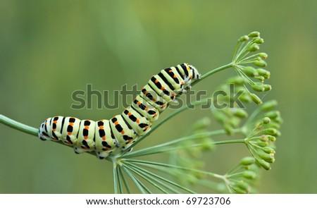Caterpillar of swallowtail - stock photo