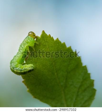 Caterpillar on a birch leaf - stock photo
