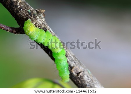 Caterpillar on a branch - stock photo