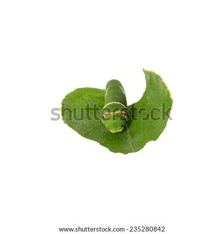 Caterpillar on white background - stock photo