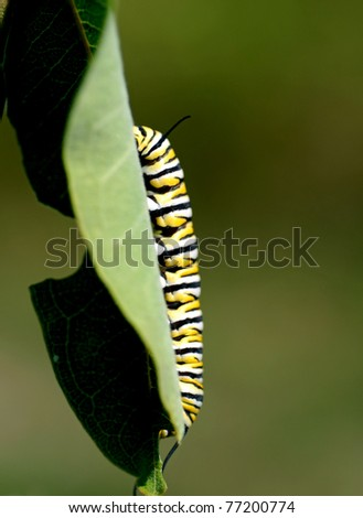 Caterpillar stage of monarch butterfly - stock photo