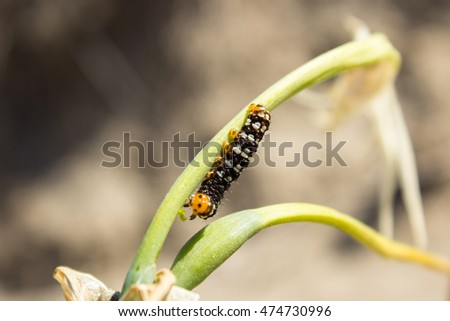 caterpillar that he lives near the beaches and that feeds on white flowers