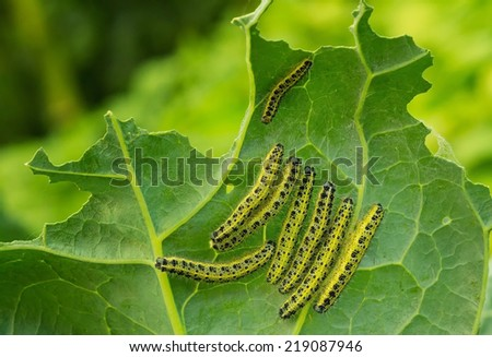 caterpillars of the cabbage butterfly on cabbage leaf  - stock photo