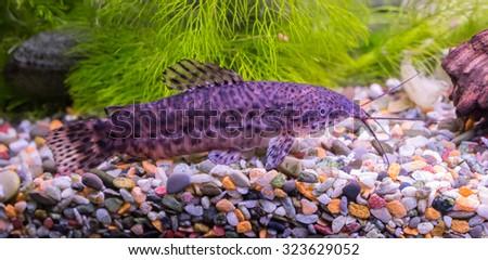 Catfish. Aquarium fish - catfish Tarakatum - stock photo