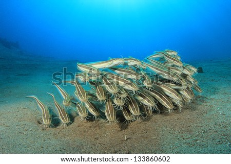 Catfish (School of Striped Eel Catfish) - stock photo