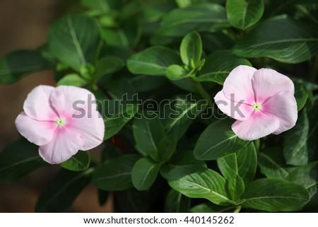 Catharanthus roseus flower - stock photo