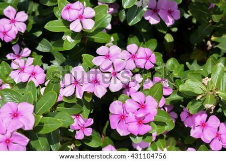 Catharanthus Roseus or Madagascar in garden - stock photo