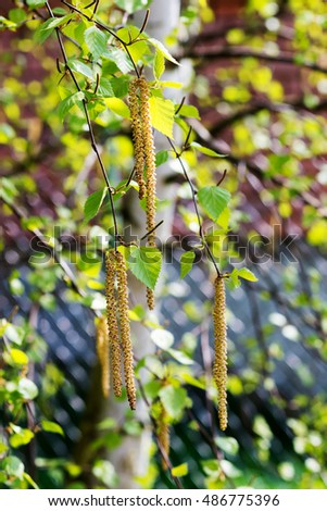 Catkins on a birch tree in spring