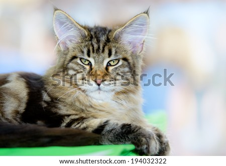 Cats and dogs: brown-white tabby Maine Coon cat, close-up portrait, selective focus, natural blurred background - stock photo