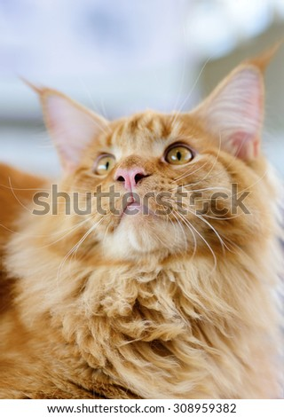 Cats and dogs: red-white tabby Maine Coon cat, close-up portrait, selective focus, natural blurred background - stock photo