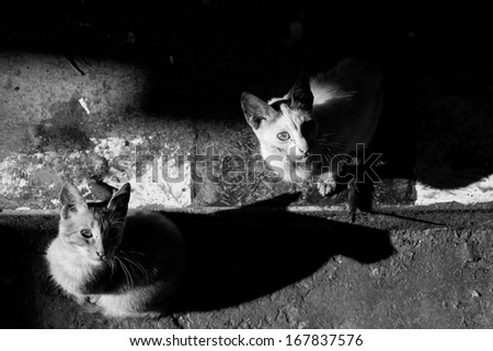 Cats in Fes looking up, Morocco black and white - stock photo