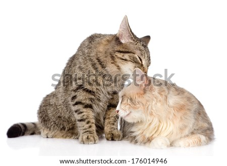 cats lick each other. isolated on white background