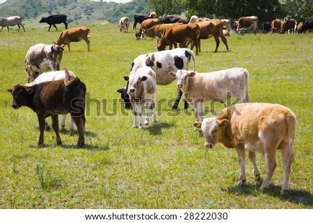 Cattle and grassland. - stock photo