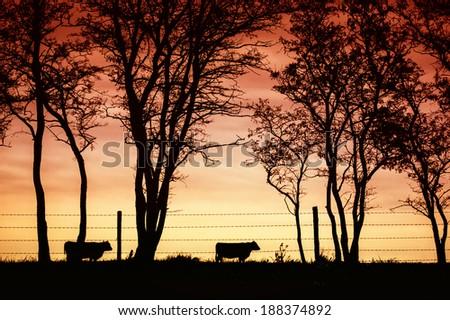 cattle Angus - stock photo