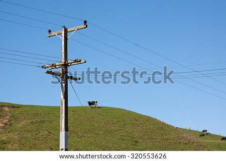 cattle beast grazing on green pastoral hill with overhead electric power lines, Gisborne, East Coast, North Island, New Zealand