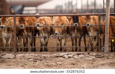 Cattle Chewing Knawing Metal Fence Rail Farm Ranch Livestock - stock photo