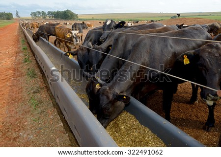 cattle eating - stock photo
