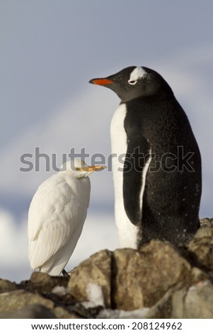 Cattle Egret and Gentoo penguins  - stock photo