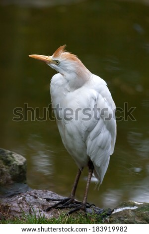 Cattle Egret (Bubulcus ibis) - stock photo