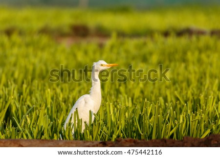 Cattle Egret in a farm in Bahrain