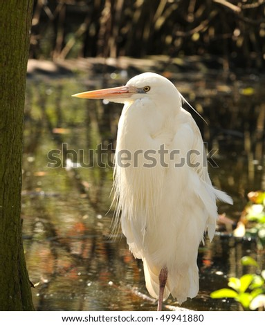Cattle egret in the Florida Everglades - stock photo