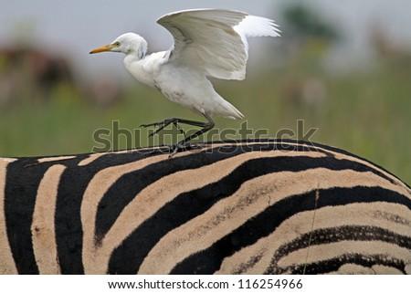 Cattle egret sitting on zebras back - stock photo