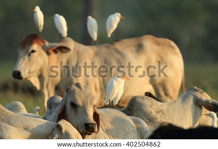 Cattle Egrets standing on a cow's back in a outback Australian paddock.  - stock photo