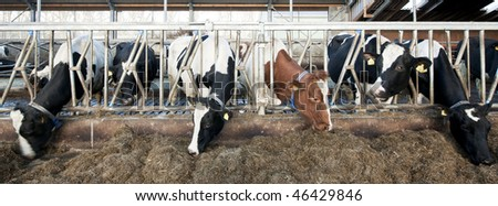 Cattle feeding through the grates of a stable; slight motion blur in the heads to illustrate the liveliness of the scene. Focus on the bars of the grate - stock photo
