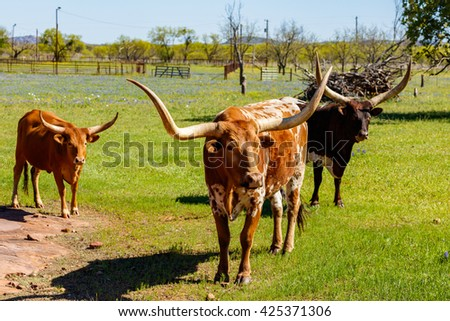Cattle grazing in a field on a ranch in the Texas Hill Country. - stock photo