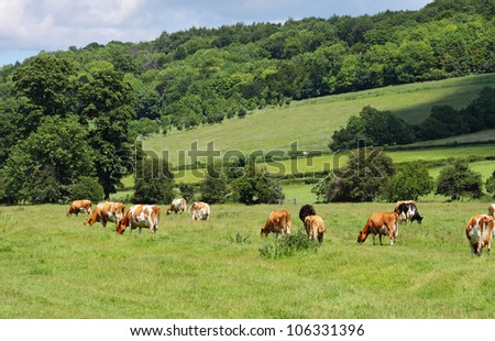 Cattle grazing in a Meadow in the Chiltern Hills in England - stock photo