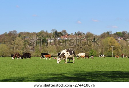 Cattle grazing in an English Meadow with the Chiltern Hills in the background - stock photo