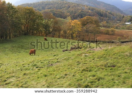 Cattle grazing in open pasture in early evening in a rural setting in Northern England. An idyllic pastoral scene. - stock photo
