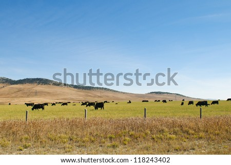 Cattle grazing in the field, Alberta Canada - stock photo