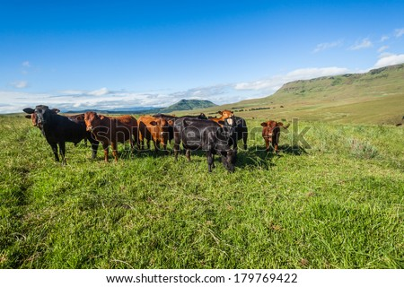 Cattle Heifers Animals Mountains Summer Mountain farming in summer season with herd of animal heifers cattle  - stock photo