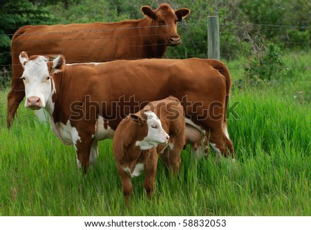 Cattle in a mountain pasture - stock photo