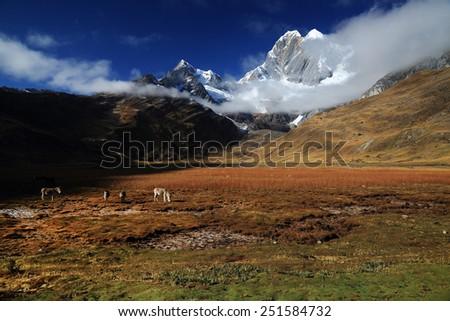 Cattle in Cordiliera Huayhuash, Peru, South America - stock photo